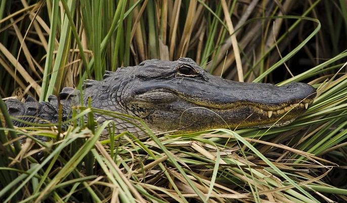 Geld anlegen ist die Leidenschaft des Alligators.